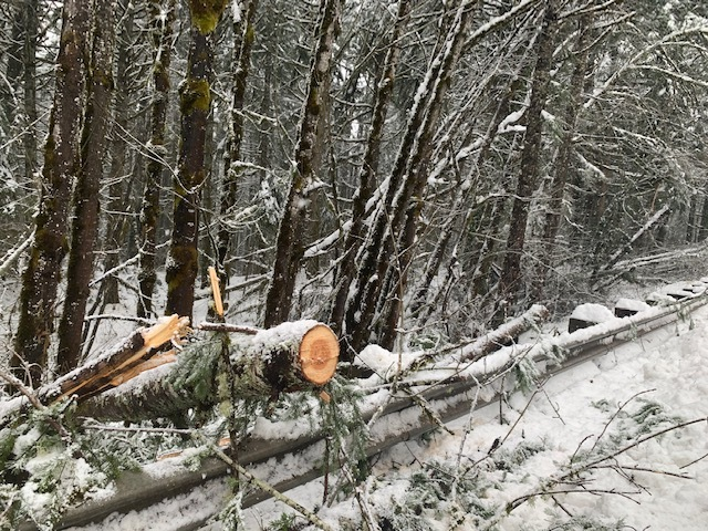 Snowstorm damage of trees fallen over